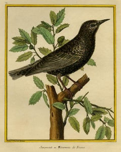 Starling by Martinet - Handcoloured engraving - 18th century