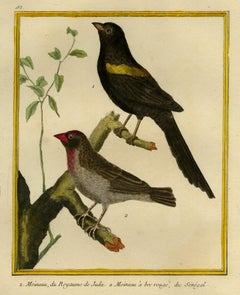 Thrushes of Juda and Senegal by Martinet - Handcoloured engraving - 18th century