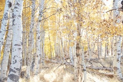 Aspen Study I - large scale photograph of Indian summer autumnal color palette