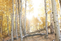 Aspen Study II -  large scale photograph of Indian summer autumnal color palette