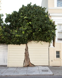 Topiary III - large format photograph of ornamental shaped tree in urban setting