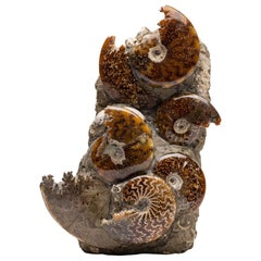 Free Standing Fossil Ammonite Cluster from Madagascar, Cretaceous Period