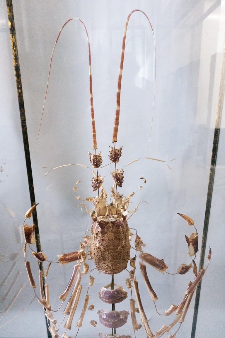 Very large deconstructed clawed lobster mounted on a wooden, black painted base with a patinated brass and glass display case.  The deconstruction technique was invented by anatomist Dr Claude Beauchêne in France in the 19th century and involves