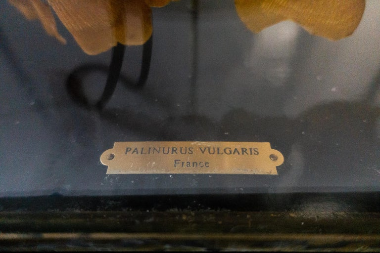 Napoleon III French Deconstructed Clawed Lobster Sculpture in Glass Case For Sale