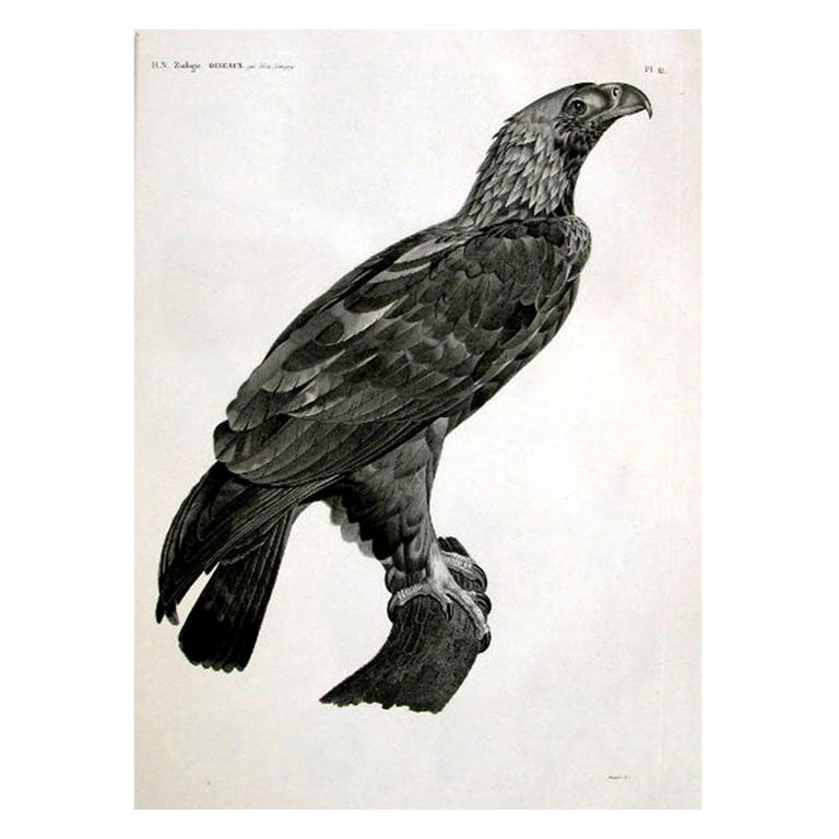 French Large Engraving of an Eagle by Savigny For Sale