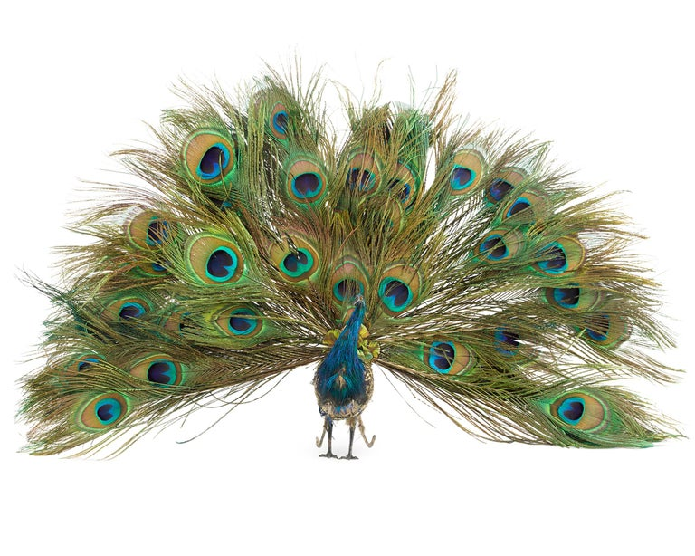 This absolutely spellbinding peacock automaton is attributed to the French toy-making company Roullet et Decamps. Its papier mâché body contains a highly elaborate clockwork system that allows this handsome bird to come fully to life. When wound and