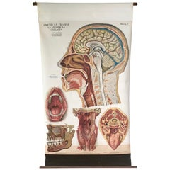Frohse Anatomical Chart by A.J. Nystrom, Plate No. 7: Head, 1918, Signed