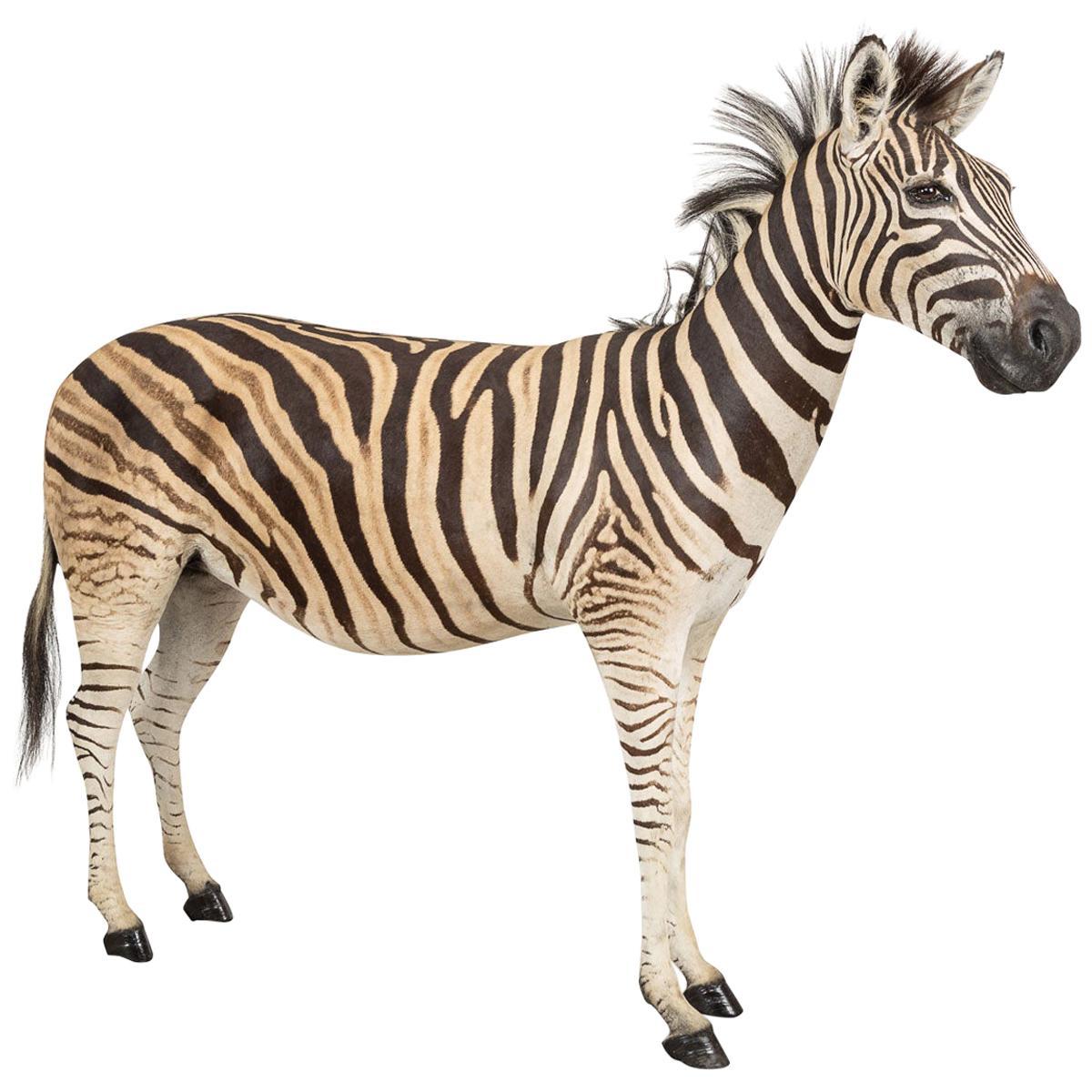 Fullmount Taxidermy Zebra