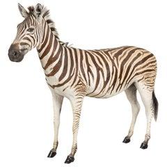 Full Mount Taxidermy Zebra