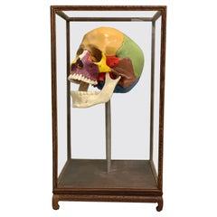 Full-Size Somso Skull Learning Model in Display Case, 1990's