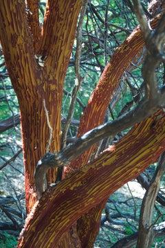 """""""Manzanita Tree Shedding Bark in Summer"""" Nature Color Photograph"""