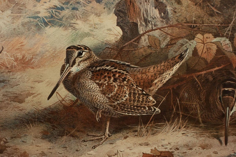 Signed Artist Proof, Archibald Thorburn, Woodcock. A single framed Archibald Thorburn game bird collotype 'Woodcock'. The single picture is of a pair of Woodcocks published by W.F. Embleton, 70 Jermyn Street, London, the Proprietor of the Copyright