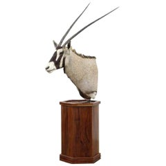 Gemsbok African Antelope Taxidermy Trophy Wall Mount on Stand