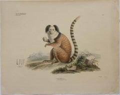 Hapale Leucocephalus; Pl. 145