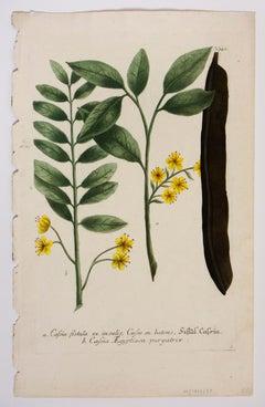 a. Cassia fistula ex insulis, Casse en batons, fistul Cassia / N.340