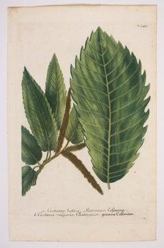 a. Castanea Sativa, Maronnier, Castanien N.343