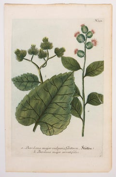 "Burdana major vulgaris, Gletteron ""Kleffen"" / Burdana major serratifolia.; N.231"