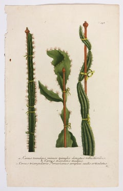 Cereus scandens minor spinulis donatus robustioribus. N.358