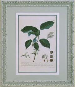 Heliocarpus  (Tree, Malvales)