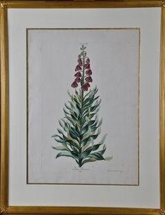 """""""Lilium Persicum"""" Ehret 18th Century Hand Colored Botanical Engraving"""