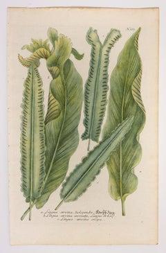 Lingua cervina, Scolopendre N667