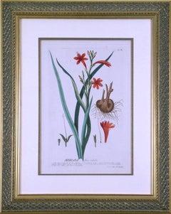 Meriana  (Bugle Lily)