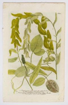 Potamogeton folus angustis splendentibus N. 830