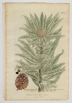 Scolymocephalus Africanus folio crasso nervoso Sericco; N. 900