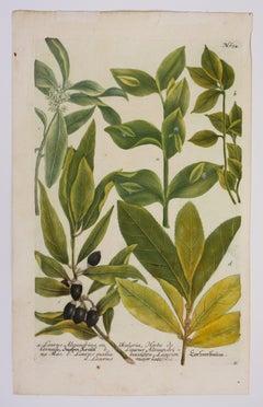 "Vintage Botanical Print from ""Phytanthoza Iconographia,"" N. 634, Laurus Plant"
