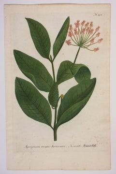"""Vintage Botanical Print from """"Phytanthoza Iconographia,"""" N.151, Milkweed Plant"""