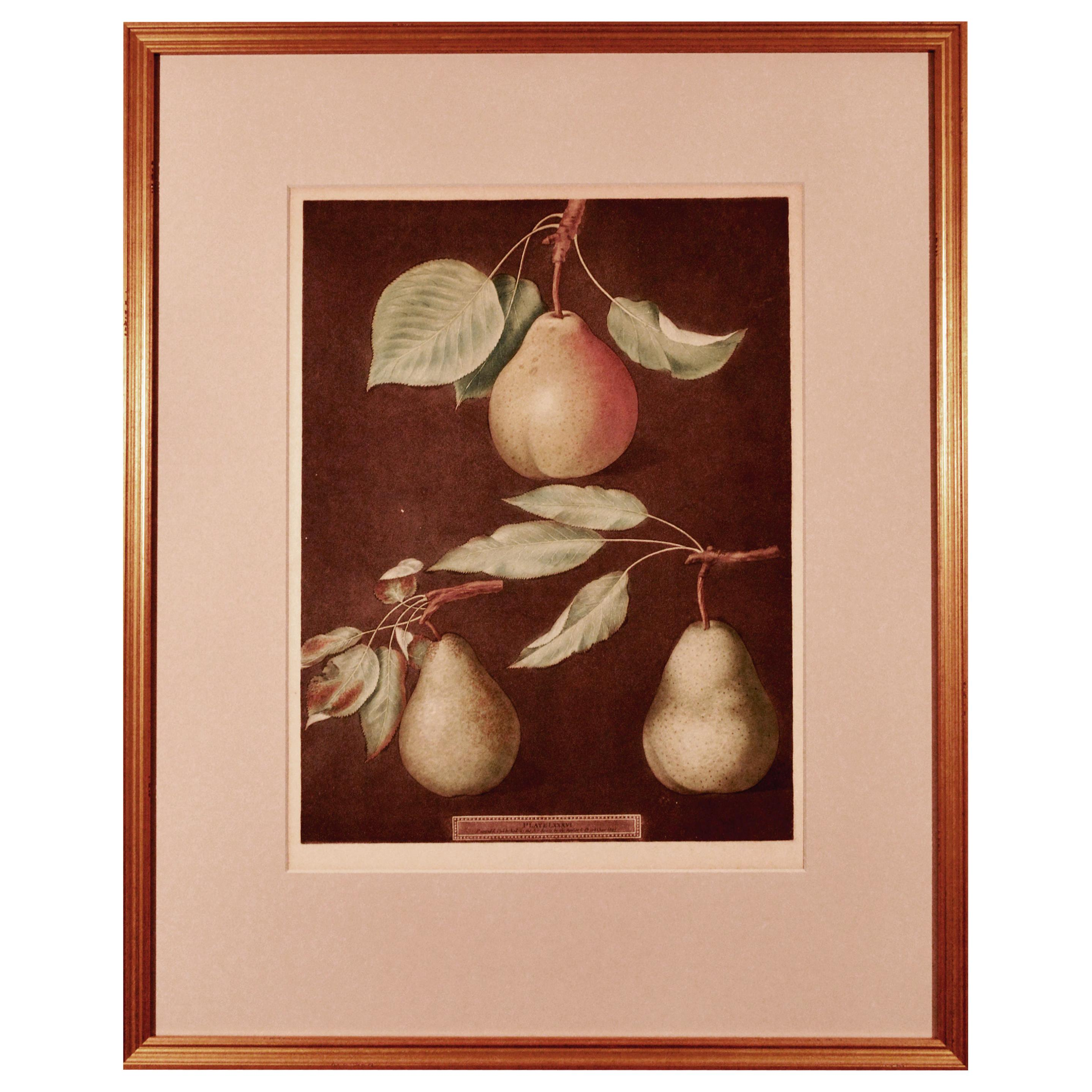 George Brookshaw Print of Pears from Pomona Britannica, Dated 1807