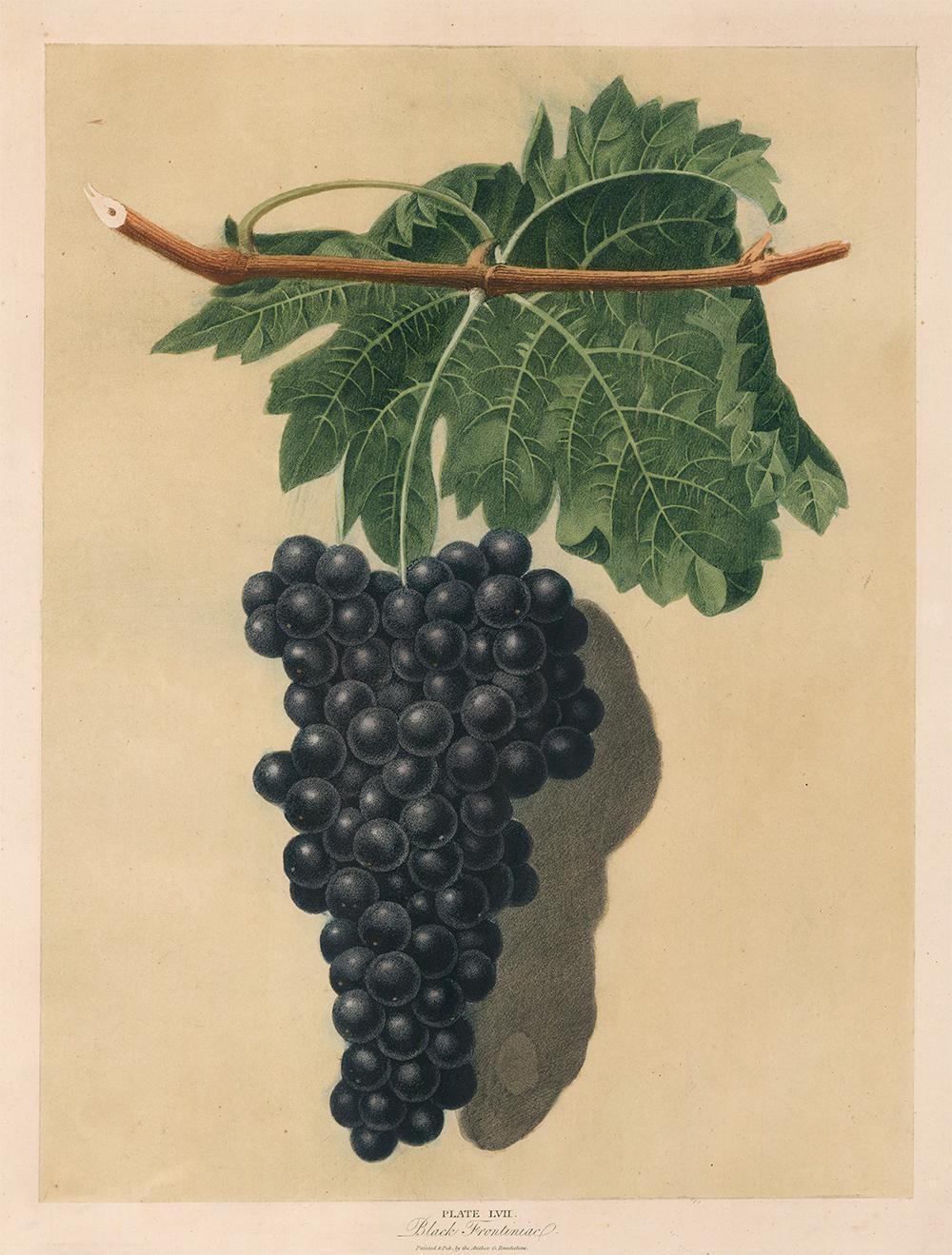 Black Frontiniac Grapes by George Brookshaw