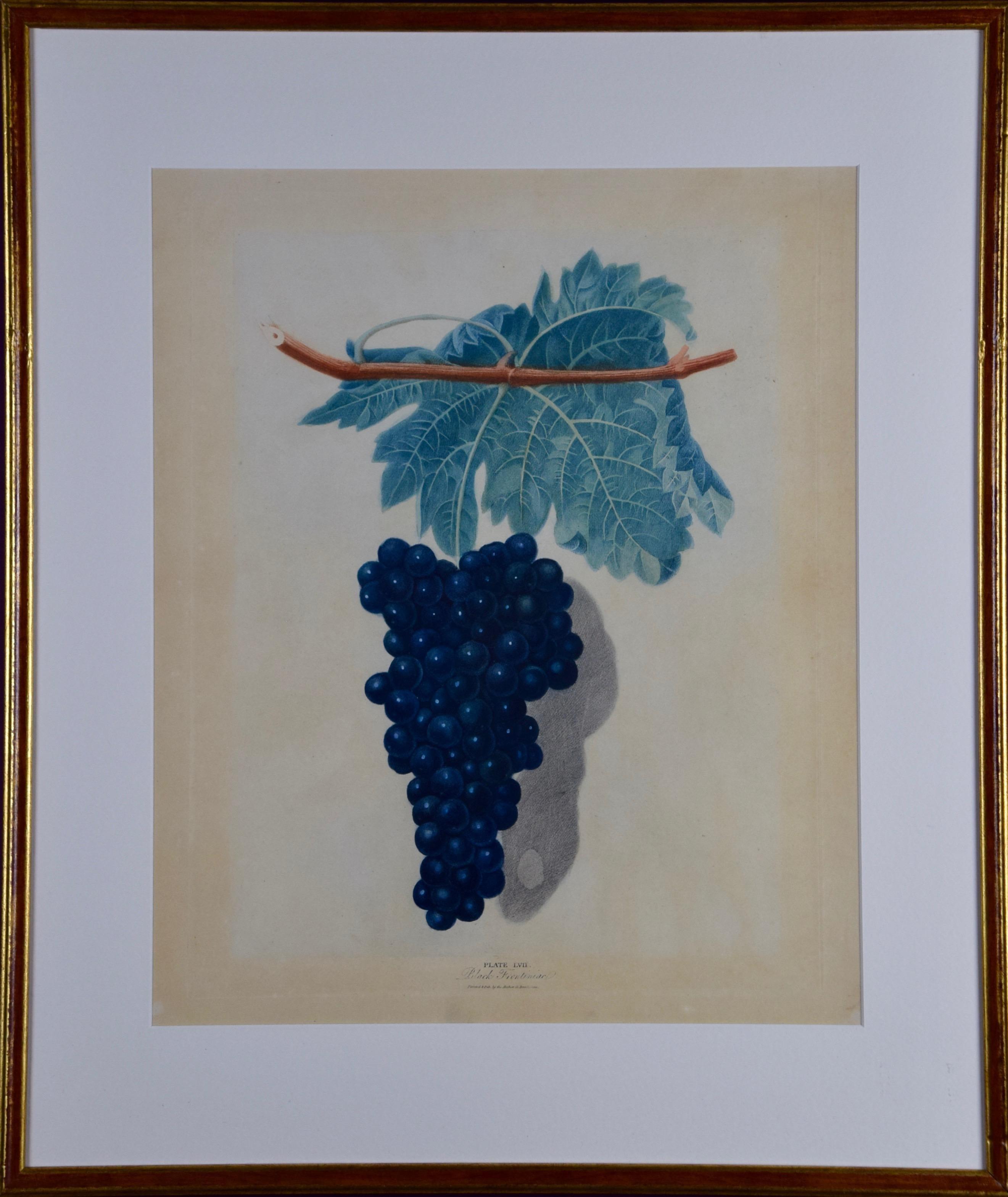 "George Brookshaw's Black Frontiniac Wine Grape Aquatint from ""Pomona Brittanica"""