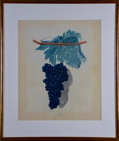 "George Brookshaw's Black Frontiniac Wine Grape Aquatint from ""Pomona Brittanica"""