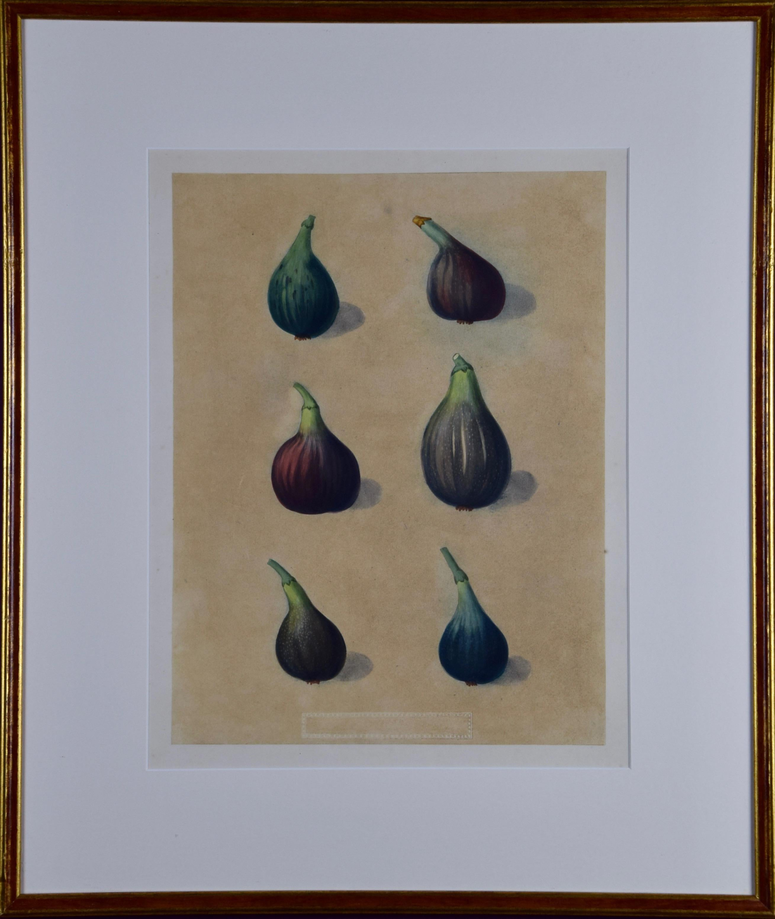 "George Brookshaw's Matted Figs Aquatint from ""Pomona Brittanica"""