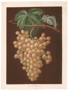Muscat of ALexandria Grapes by George Brookshaw