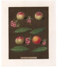 Peaches by George Brookshaw