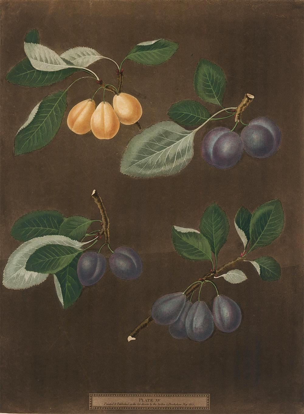 Plums Aquatint by George Brookshaw