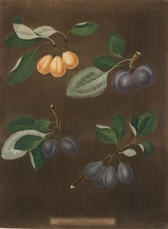 Plums Aquatint by George Brookshaw