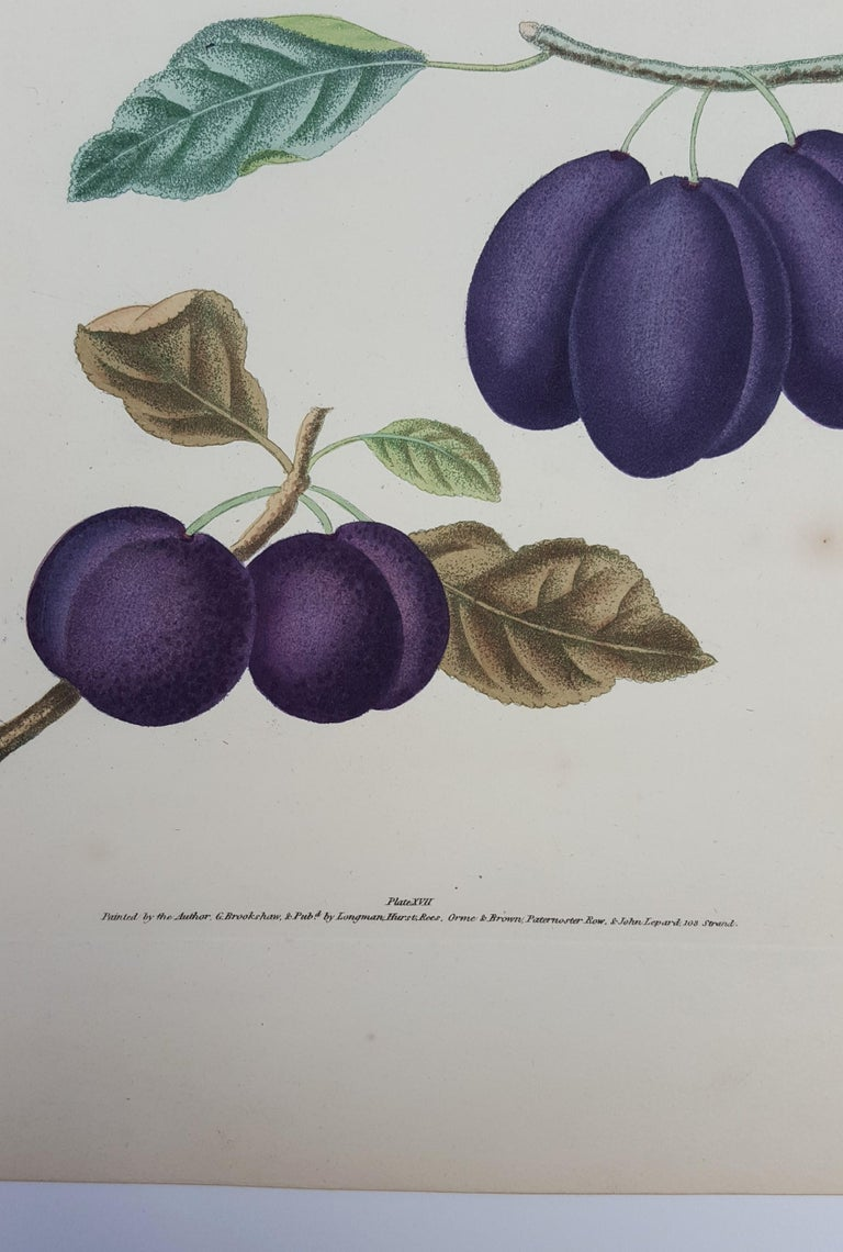 Plums (Plate XVII) For Sale 5