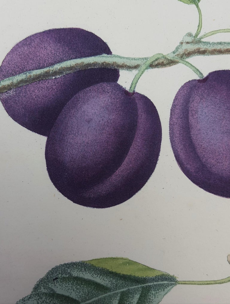 Plums (Plate XVII) For Sale 8
