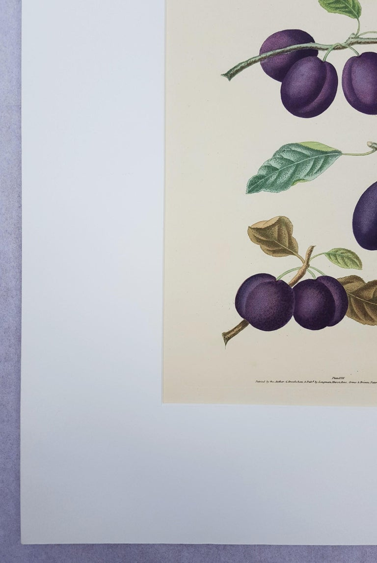 Plums (Plate XVII) For Sale 2