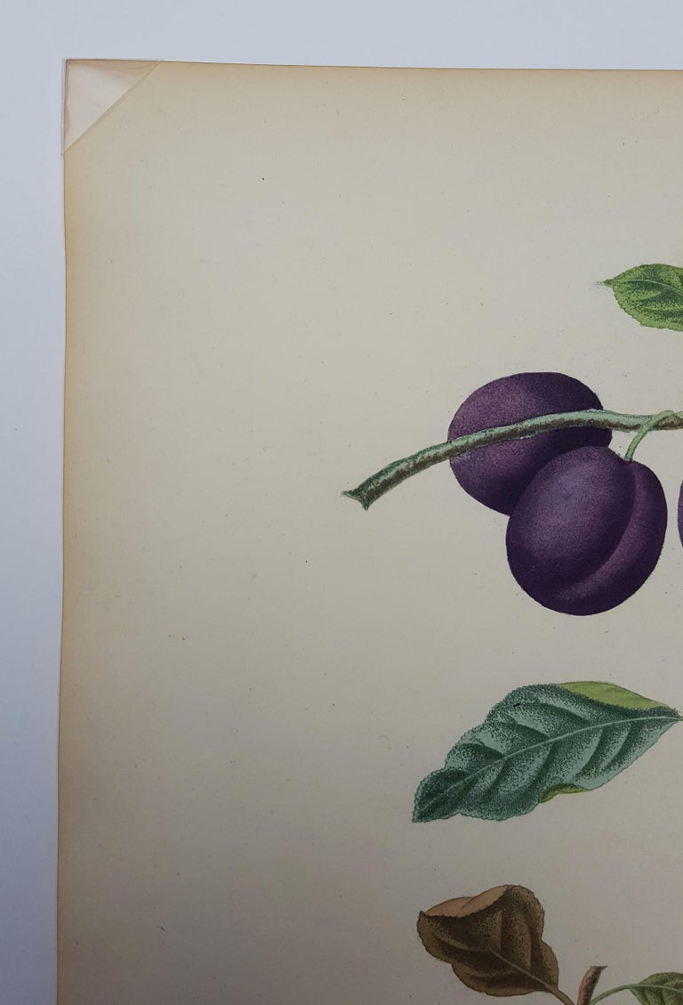 Plums (Plate XVII) For Sale 1