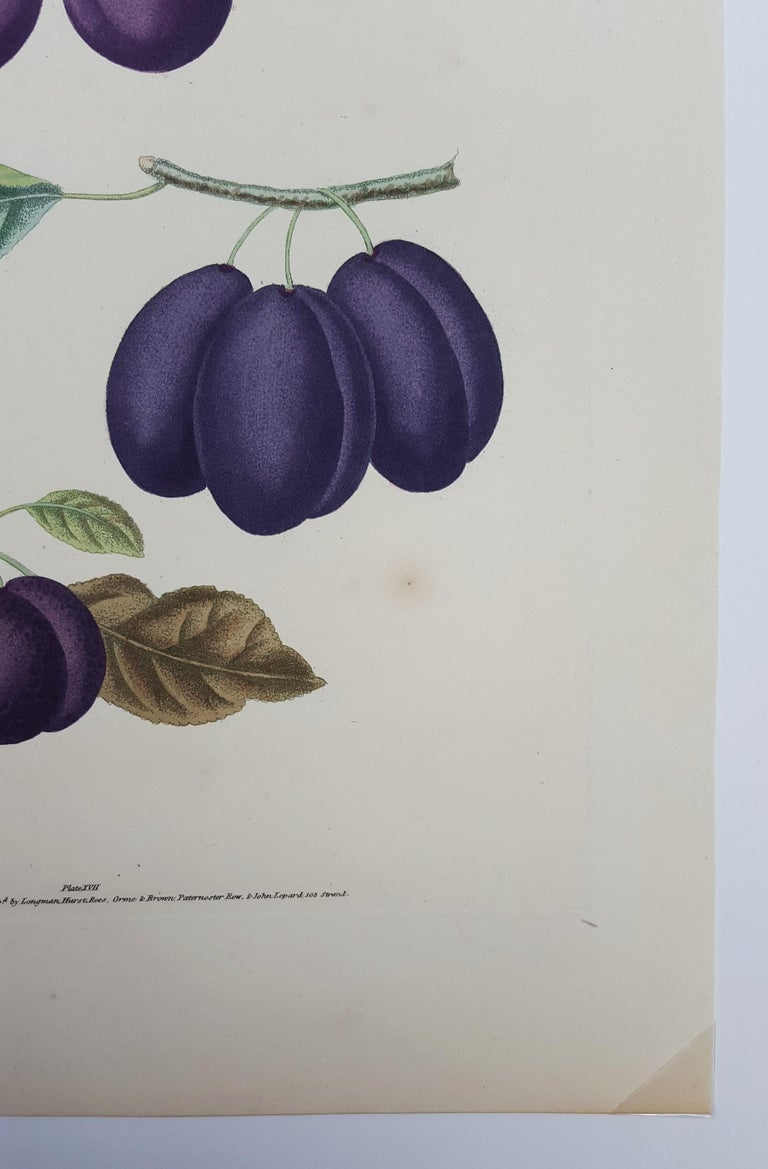 Plums (Plate XVII) For Sale 3