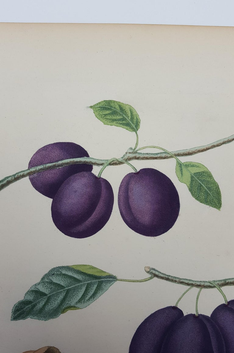 Plums (Plate XVII) For Sale 4