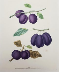 Plums (Plate XVII)