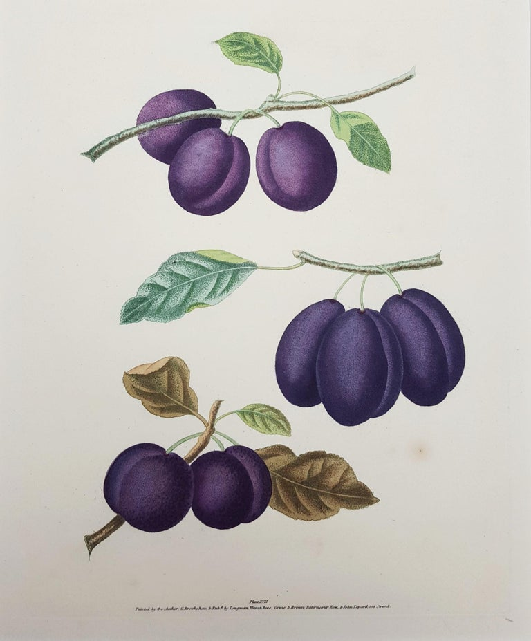 """An original hand-colored aquatint engraving on wove paper by English artist George Brookshaw (1751-1823) titled """"Plums (Plate XVII)"""", 1817. Limited edition unknown, presumed small. Comes from Brookshaw's famous """"Pomona Britannica"""" (quarto edition)"""