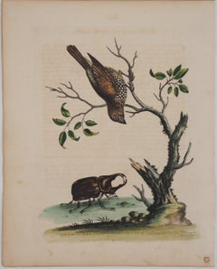 Bird and Beetle - Etching and watercolor (Natural History of Birds, 1741)