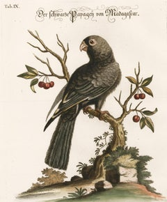 Hand-Colored Madagascar Parrot Engraving