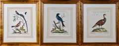 Three 18th Century Hand Colored Engravings of Birds by George Edwards